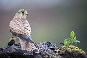 Common kestrel (Falco tinnunculus) female in rain, Cordoba, Spain