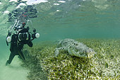 Free diver taking pictures of an American crocodile (Crocodylus acutus), Chinchorro Banks (Biosphere Reserve), Quintana Roo, Mexico