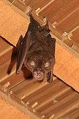 Lander's horseshoe bat (Rhinolophus landeri) hanging from a beam, Gabon