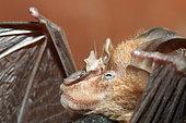 Lander's horseshoe bat (Rhinolophus landeri), Gabon