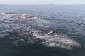 Baleine grise (Eschrichtius robustus), femelle et jeune, Baie de la Madelaine, Puerto San Carlos, Basse Californie du Sud, Mexique