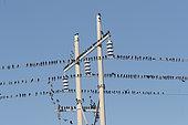 Brewer's Blackbird » (Euphagus cyanocephalus), group on electric wire, Baja California Sur, Mexico