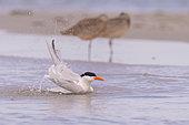 Royal tern (Thalasseus maximus), bathing the beach, Magdalena Bay (Madelaine Bay), Puerto San Carlos, Baja California Sur, Mexico