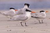 Royal tern (Thalasseus maximus), group on the beach, Magdalena Bay (Madelaine Bay), Puerto San Carlos, Baja California Sur, Mexico