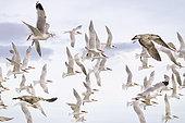 Royal tern (Thalasseus maximus), group in flight, Magdalena Bay (Madelaine Bay), Puerto San Carlos, Baja California Sur, Mexico