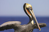 Brown pelican (Pelecanus occidentalis), Magdalena Bay (Madelaine Bay), Puerto San Carlos, Baja California Sur, Mexico