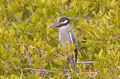 Yellow-crowned night heron (Nyctanassa violacea), Magdalena Bay (Madelaine Bay), Puerto San Carlos, Baja California Sur, Mexico