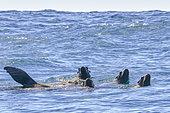 California sea lion ( Zalophus californianus), swimming, Ojo de Liebre Lagoon (formerly known as Scammon's Lagoon), Guerrero Negro, Baja California Sur, Mexico