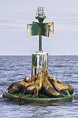 California sea lion ( Zalophus californianus), rests on buoy, Ojo de Liebre Lagoon (formerly known as Scammon's Lagoon), Guerrero Negro, Baja California Sur, Mexico