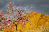 Eroded hills of sedimentary conglomerate and sandstone with a tree Japanese cherry, Unesco World Heritage, Zhangye, China