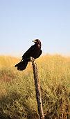 Raven (Corvus corax) on a stake
