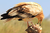 Egyptian Vulture (Neophron percnopterus) eating a chick