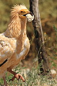 Egyptian Vulture (Neophron percnopterus) breaking an ostrich egg