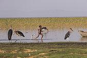 Marabou stork (Leptoptilos crumenifer) and running child, Ziway lake, Rift Valley, Ethiopia
