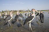 Marabou stork (Leptoptilos crumenifer) around fishermen boats, they are waiting for the remains of fish thrown by the fishermen, Ziway lake, Rift Valley, Ethiopia,