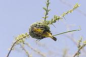 Village weaver (Ploceus cucullatus), building the nest, Ziway lake, Rift Valley, Ethiopia