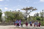 Nests of Marabou stork (Leptoptilos crumenifer) on the trees in town, Ziway lake, Rift Valley, Ethiopia,