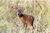 Barking Deer (Muntiacus muntjak), Jim Corbett National Park, Uttarakhand, India