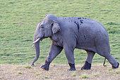 Asian or Asiatic elephant (Elephas maximus), walking, Jim Corbett National Park, Uttarakhand, India,
