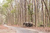 Éléphant d'Asie (Elephas maximus), traversant une allée forestière de sal ou sâla (Shorea robusta), Parc national Jim Corbett, Uttarakhand, Inde