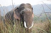 Asian or Asiatic elephant (Elephas maximus), old male, Jim Corbett National Park, Uttarakhand, India,