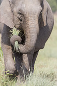 Asian or Asiatic elephant (Elephas maximus), Jim Corbett National Park, Uttarakhand, India