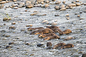 Smooth-coated otter (Lutrogale perspicillata), group fishing in the Ramganga river, Jim Corbett National Park, Uttarakhand, India,