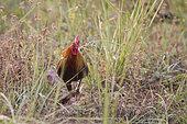 Red junglefowl (Gallus gallus), Jim Corbett National Park, Uttarakhand, India
