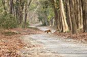 Bengal Tiger ( Panthera tigris tigris) crossing a forest walkway of sal or sâla (Shorea robusta), Dhikala, Jim Corbett National Park, Uttarakhand, India,