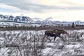 Alaskan Moose (Alces alces gigas) in spring, Denali National Park, Alaska