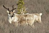 Reindeer (Rangifer tarandus) in spring, Denali National Park, Alaska