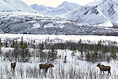 Moose (Alces alces) Delta River along the Richardson Highway during spring thaw, in the background the Alaska Range, left Mount Deborah (12336 ft, right Haynes Mountain (13740 ft)