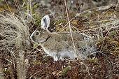 Snowshoe hare (Lepus americanus) in spring, Alaska