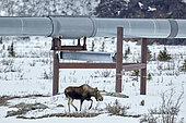 Moose (Alces alces) and Trans Alaska Pipeline System (TAPS) along the Richardson Highway near Paxson in the spring, Alaska