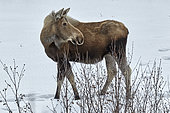 Moose (Alces alces) along the Richardson Highway near Delta Junction, Spring, Alaska