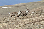 Caribou (Rangifer tarandus) migrating in the Mertle mountains, Yukon-Charley Rivers National Park, Alaska