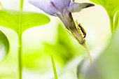 Insecte sur fleur, Réserve naturelle régionale de Saint Maurin, La-Palud-sur-Verdon, parc naturel régional du Verdon, Alpes de Haute Provence,
