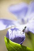 Fourmi sur fleur, Réserve naturelle régionale de Saint Maurin, La-Palud-sur-Verdon, parc naturel régional du Verdon, Alpes de Haute Provence,