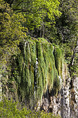 Cascade sur tuf (concrétion calcaire, directive habitat), Réserve naturelle régionale de Saint Maurin, La-Palud-sur-Verdon, parc naturel régional du Verdon, Alpes de Haute Provence,
