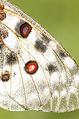Apollo (Parnassius apollo) wing, La-Palud-sur-Verdon, Verdon Regional Nature Park, Alpes de Haute Provence, France