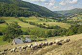 Troupeau de moutons et ses patous en fin d'été, Vallée de Saint-Paul de Salers (Récusset), Monts du Cantal, Parc Naturel Régional des Volcans d'Auvergne, France