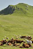 Troupeau de vaches allaitantes de race Salers avec taureau de race Charolaise afin d'obtenir des veaux croisés pour la viande de boucherie, en montagne à l'estive, Vallée du Mars, Monts du Cantal. Parc Naturel Régional des Volcans d'Auvergne, France
