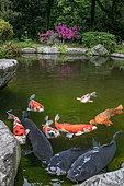 Koi carp at the foot of Kanazawa Castle, Japan