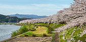 Path of Cherry tree's full bloom, Kakunodate, Japan