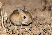 Jerboa (Jaculus jaculus or Jaculus orientalis) at night in the desert, Morocco