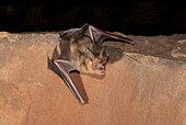 Trident leaf-nosed bat (Asellia tridens), Morocco