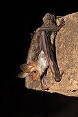 Felton's myotis (Myotis punicus), Morocco