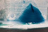 Blue tabular Iceberg with Gentoo penguins (Pygoscelis papua) and Skua in flight (Catharacta sp), Antarctica
