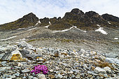 Saxifrage à feuilles opposées (Saxifraga oppositofolia) et paysage du Svalbard