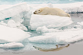 Polar bear (Ursus maritimus) on the ice floe and its reflection in the Arctic Ocean, Svalbard